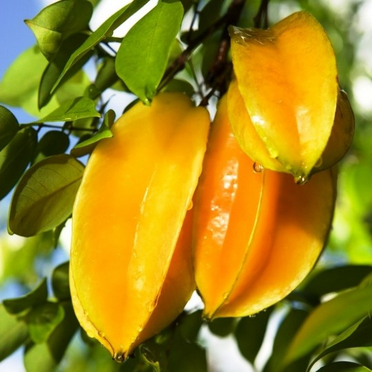 Carambola Net Worth